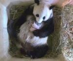 Panda del zoo de Viena da a luz a gemelos