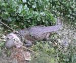 Bomberos atrapan enorme cocodrilo en canal de Madero