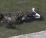 Pelean cocodrilos por perro