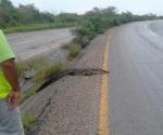Cocodrilo ponía en peligro a conductores: PC lo captura