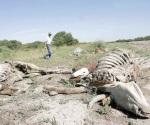 Enfrentan pérdidas ganaderos por sequía y muerte de las reses