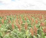 Optimismo de campesinos por recientes lluvias