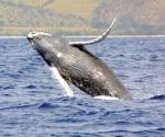 Cientos de ballenas mueren al año