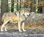 ¿Cómo evitar ataques de lobos?