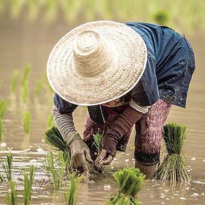 El arroz dejará de servir como alimento por el cambio climático