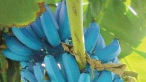 Las bananas de Java de color azul tienen el sabor a helado de vainilla