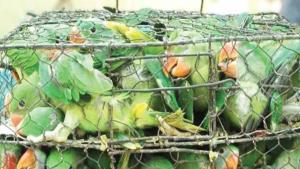 Rescatan cerca de 550 aves indias protegidas