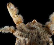 Descubren en la Antártida el primer cangrejo Yeti