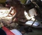 Denuncian peleas clandestinas de perros
