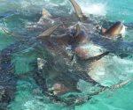Tiburones devoran ballena en costa de Australia