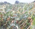 Fuertes vientos afectaron sembradíos en distrito 025