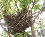 Alarman abejas africanizadas