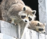 Con jaulas-trampa neutralizan amenaza