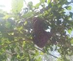 Eliminan enjambre de abejas en un domicilio