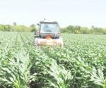 Crece presencia de plaga en maíz