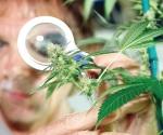 Desaprueban pastores la mariguana medicinal