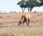 Descartan falta de agua o alimento para ganado