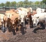 Niegan mortandad de ganado por la sequía