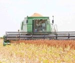 Definirán los precios del maíz y sorgo