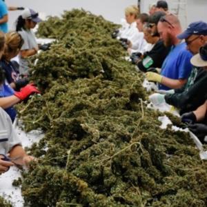Cofepris presentará en 6 meses reglas para uso de la mariguana