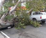 Cae árbol en el 19 Aldama y aplasta dos vehículos