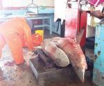 Reanudan la captura de tiburón