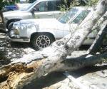 Cae árbol y causa daños a vehículos