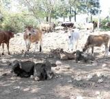 'Barrido' de ganado bovino para prevenir la brucelosis