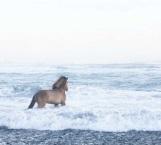 Caballos mágicos existen en Islandia