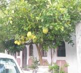 Limones gigantes