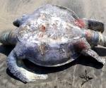Hallan 69 tortugas y un delfín muertos en playas de Guerrero