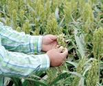 Confían campesinos buena cosecha de sorgo falta solo el último estiron en el ciclo