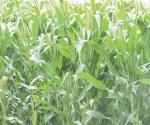 Recibe maíz segundo riego