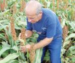 La falta de lluvias merma las cosechas al no espigar las plantas de sorgo