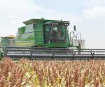 Inicia cosecha de sorgo luego de fenómeno meteorológico que los afectó en algunos ejidos