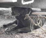 Cuando la perra es brava... hasta los de casa muerde