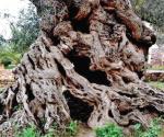 Este olivo con más de 3000 años sigue dando frutos