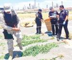 Aseguran plantas de mariguana en Pemex-Cadereyta