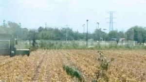 Arroja el maíz de 6 a 8 Ton. por ha