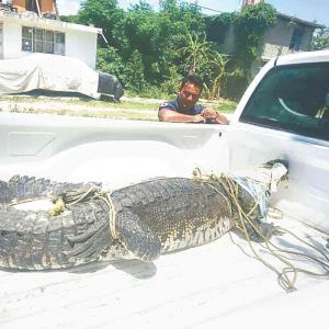 Recorría cocodrilo populosa colonia