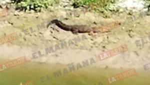 Observa cocodrilo a orillas del canal Rodhe
