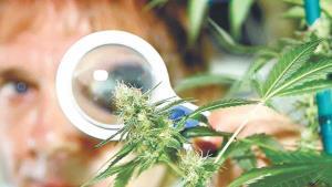'Pegan' victorenses más a la mariguana