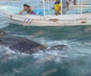 Rescatan tiburón-ballena en puerto de Matamoros