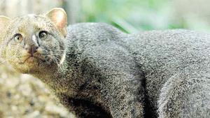Jaguarundi, el felino menos estudiado de latinoamérica