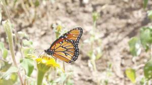 Piden no molestar a la mariposa monarca