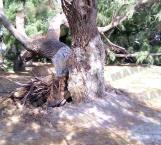 Causan vientos daños en parques y zonas arboladas