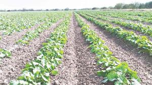 Prevén ganancias de algodón, maíz y soya