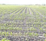 'Quema' helada plantas de maíz