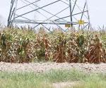 Reportan la caída en precio de grano