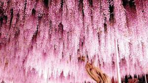 Árbol de glicinas tiene 150 años de vida y sigue maravillando al mundo